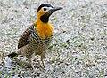 Campo Flicker (Colaptes campestris) male (28511352732).jpg