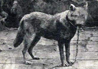 Sicilian wolf, an endemic wolf extinct in 20th century Canis lupus cristaldii subsp. nov.png