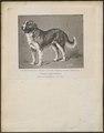 Canis lupus familiaris - 1700-1880 - Print - Iconographia Zoologica - Special Collections University of Amsterdam - UBA01 IZ22200244.tif
