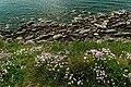 Cap Gris-Nez - Côte d'Opale - View WNW & Down on Sea Pink.jpg