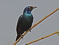 Cape Glossy Starling Kruger RWD.jpg