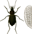 Carabus cancellatus with elytron Jacobson.png