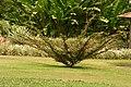 Carbonero (Calliandra sp.) - Flickr - Alejandro Bayer (1).jpg