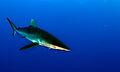 Carcharhinus falciformis bahamas.jpg