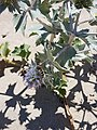Cardo de mar (Eryngium maritimum).jpg