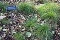 Carex appalachica - Brooklyn Botanic Garden - Brooklyn, NY - DSC07918.JPG