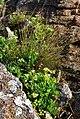 Carex extensa (3).jpg