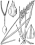 Carex sartwellii drawing 1.png