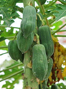 Carica papaya 14 7 2012.jpg