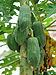 Carica papaya 14 7 2012.jpg