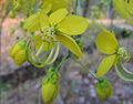 Cassia fistula flower closeup.jpg