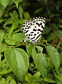 Castalius rosimon - Common Pierrot on the hostplant Ziziphus oenoplia - Jackal Jujube 35.JPG