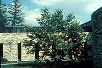 Castanea mollissima