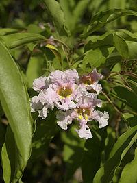 C. longissima