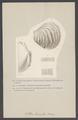 Catillus lamarkii - - Print - Iconographia Zoologica - Special Collections University of Amsterdam - UBAINV0274 005 11 0020.tif