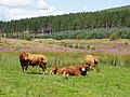 Cattle at Bellsburnfoot, near Kielder, Northumberland - geograph.org.uk - 1442675.jpg
