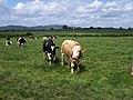 Cattle near Churcham - geograph.org.uk - 1318687.jpg