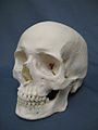 Museum-style photograph of a human skull on a plain background