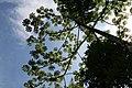 Cecropia obtusifolia 32zz.jpg