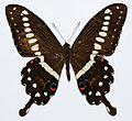 Central Emperor Swallowtail (Papilio lormieri) (8429368303).jpg