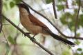 Centropus senegalensis.PNG