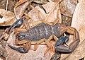 Centruroides scorpion (6866889527).jpg