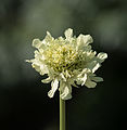 Cephalaria alpina.jpg