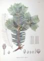 Cephalotaxus drupacea SZ131.png