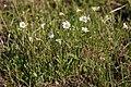 Cerastium arvense - Flickr - aspidoscelis (1).jpg