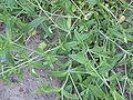 Cerastium fontanum subsp. vulgare, gewone hoornbloem stengels.jpg