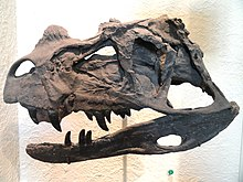 Cast of the skull of the holotype