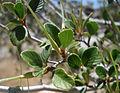 Cercocarpus betuloides betuloides.jpg