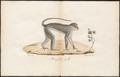 Cercocebus fuliginosus - 1700-1880 - Print - Iconographia Zoologica - Special Collections University of Amsterdam - UBA01 IZ19900133.tif