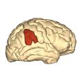 Cerebrum - supramarginal gyrus - lateral view.png