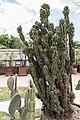 Cereus repandus (Cierge du Pérou) - 100.jpg