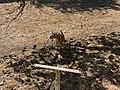 Chèvre Parcelle près Place Champ Foire - Marcigny - 2020-08-15 - 3.jpg
