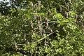 Chalara fraxinea sur Fraxinus excelsior (Frêne élevé) 02.jpg