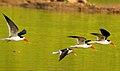 Chambal skimmers.jpg