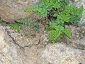 Cheilanthes pteridoides (4386798141).jpg