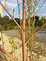 Chenopodium album subsp. album sl5.jpg