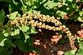 Chenopodium bonus-henricus ENBLA03.jpg