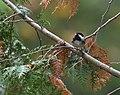 Chestnut-backed Chickadee (43847841800).jpg