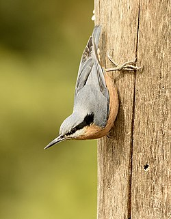Chestnut-bellied Nuthatch (female).jpg