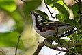 Chestnut-sided Warbler (male) Anahuac NWR-Jackson Prairie Woodlot TX 2018-04-24 16-20-00 (41337466514).jpg