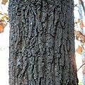 Chestnut Oak (30933176602).jpg