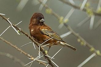 Chestnut sparrow - Male in breeding plumage in Kenya