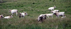 A number of Chillingham cattle grazing