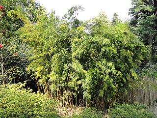 <i>Chimonobambusa</i> genus of plants