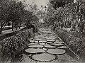 Chinesischer Photograph um 1860 - Lilienteich in einem Garten in Südchina (Zeno Fotografie).jpg
