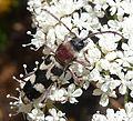 Chlorophorus trifasciatus. Cerambycidae - Flickr - gailhampshire (1).jpg